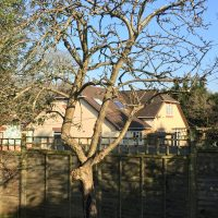 Pruned Apple Tree