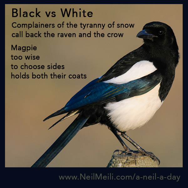 Complainers of the tyranny of snow call back the raven and the crow Magpie too wise to choose sides holds both their coats