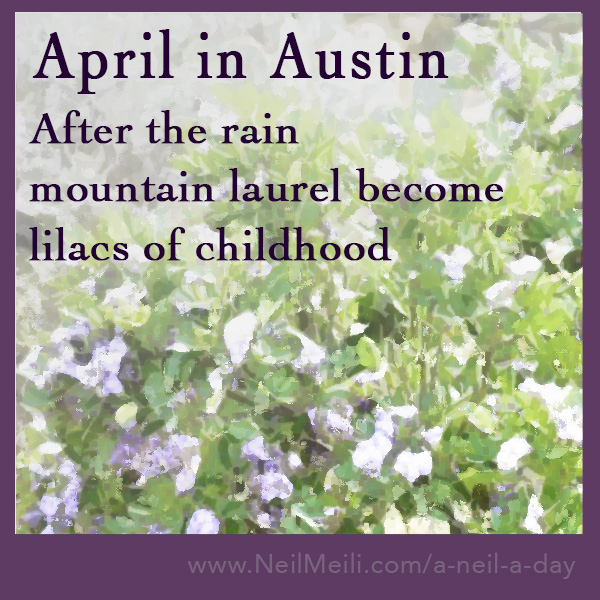 After the rain mountain laurel become lilacs of childhood
