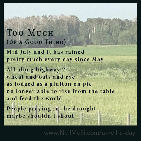 Mid July and it has rained  pretty much every day since May  All along highway 2 wheat and oats and rye as lodged as a glutton on pie no longer able to rise from the table  and feed the world  People praying in the drought maybe shouldn't shout