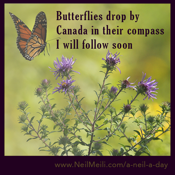 Butterflies drop by Canada in their compass I will follow soon
