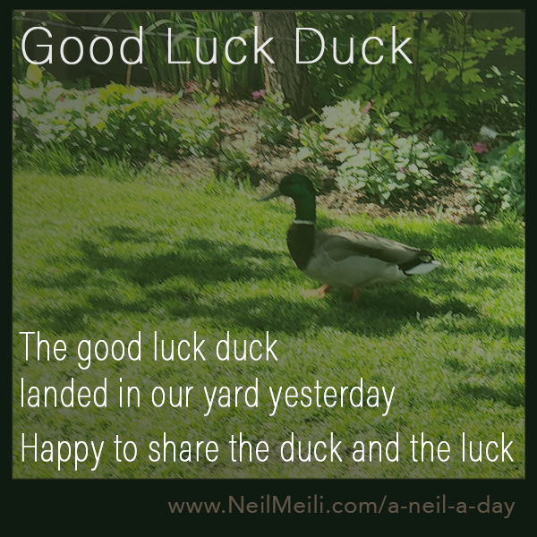 The good luck duck landed in our yard yesterday  Happy to share the duck and the luck