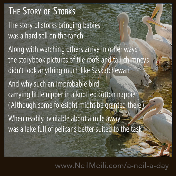 The story of storks bringing babies was a hard sell on the ranch Along with watching others arrive in other ways  the storybook pictures of tile roofs and tall chimneys  didn't look much like Saskatchewan And why such an improbable bird carrying the little nipper in a knotted cotton nappie (Although some foresight might be granted there)  When readily available about a mile away  was a lake full of pelicans better suited to the task