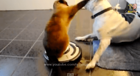 roomba_cat_and_pitbull04
