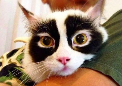 【猫画像】パンダ猫