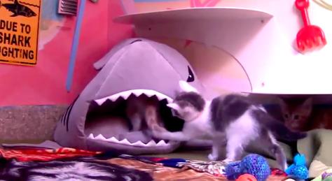 kitten_vs_shark02