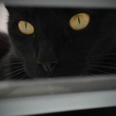 【猫画像】THE 黒猫