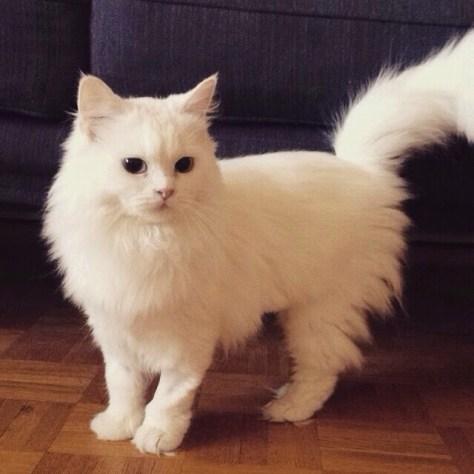 【猫画像】白くてフワフワ猫
