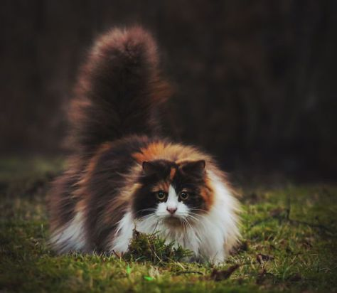 fluffy_cats06