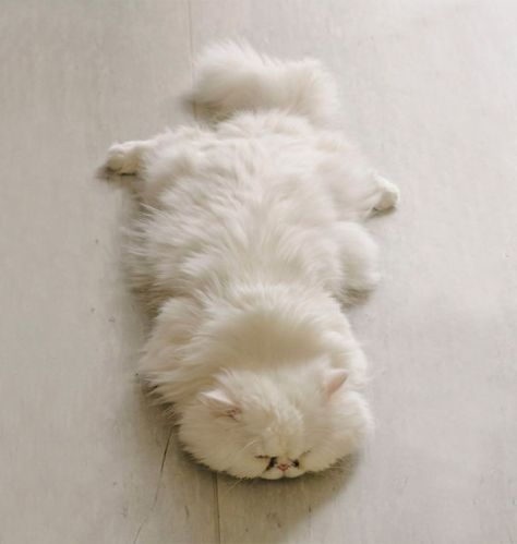 fluffy_cats09