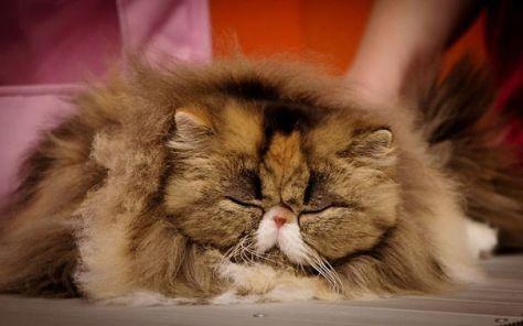 fluffy_cats15