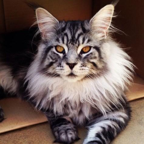 【猫画像】ワイルド系