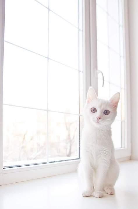 【猫画像】まっしろ