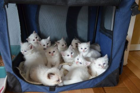 【猫画像】白い集団