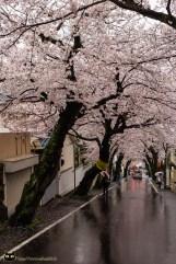 Kirschblüten in Kobe