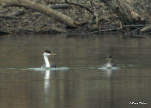 western-and-red-necked-grebes