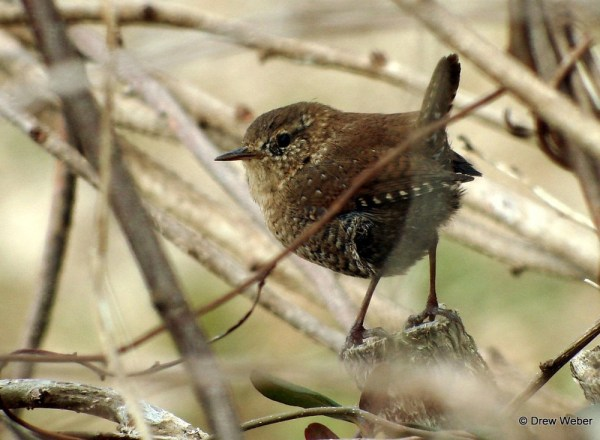 winter-wren2