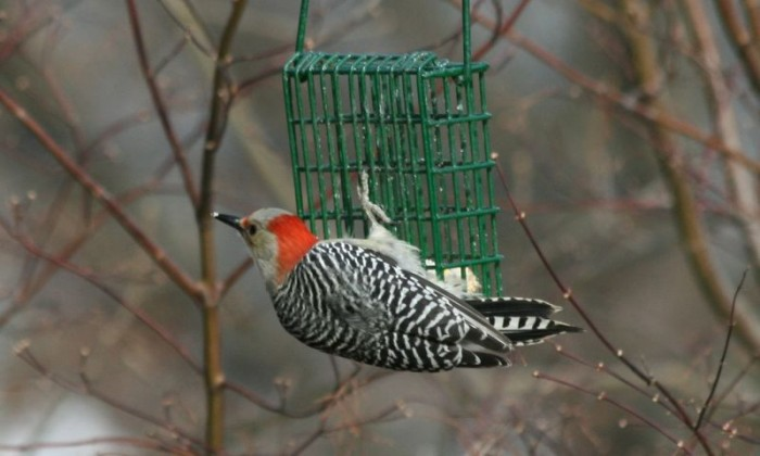 Red-bellied Woodpecker- female