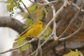Yellow Warbler - male (Photo by Alex Lamoreaux)