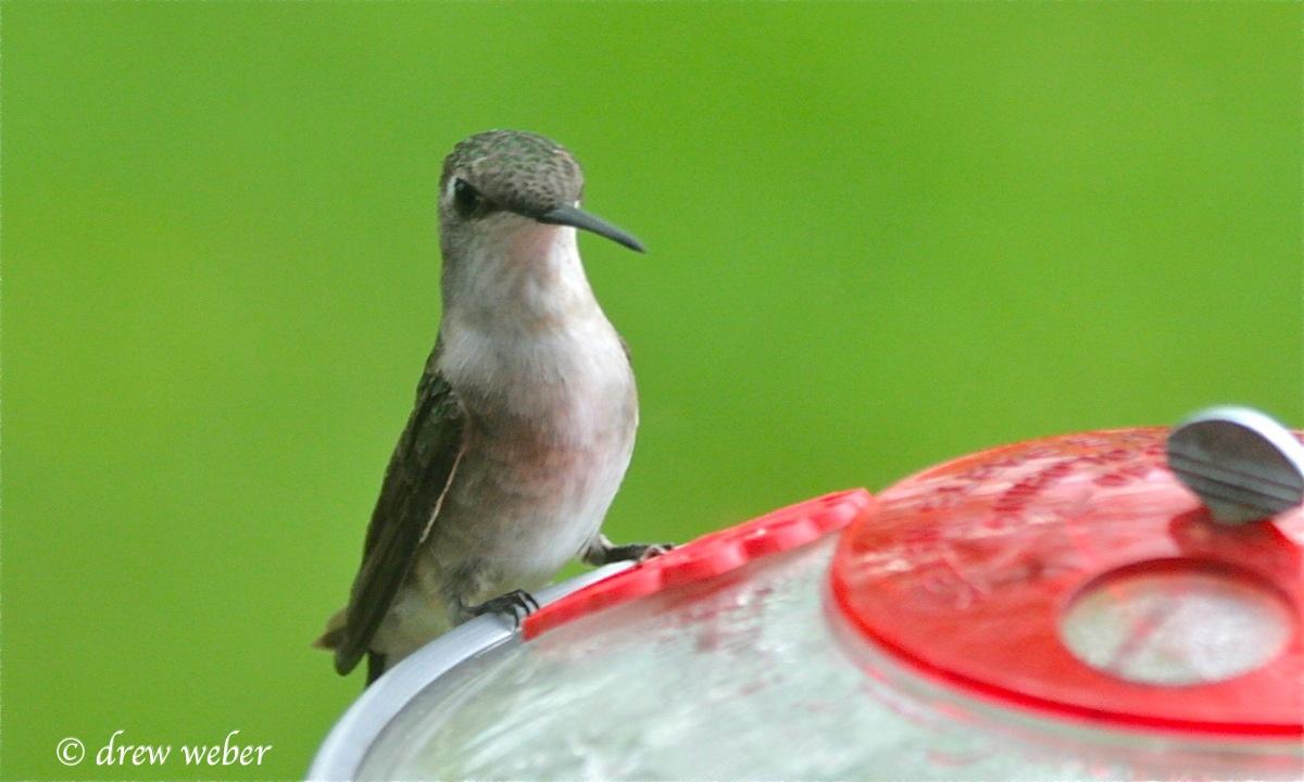 backyard ruby throated hummingbird by drew weber nemesis bird