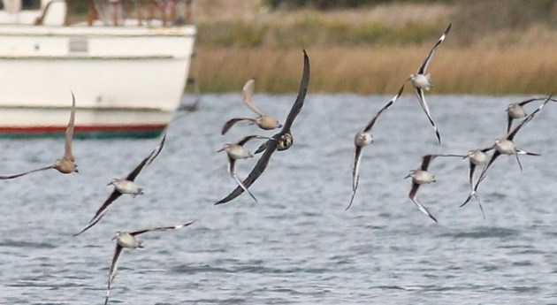 The juvenile Peregrine hot on the heals of the 'Western' Willet and Marbled Godwit. (Photo by Alex Lamoreaux)