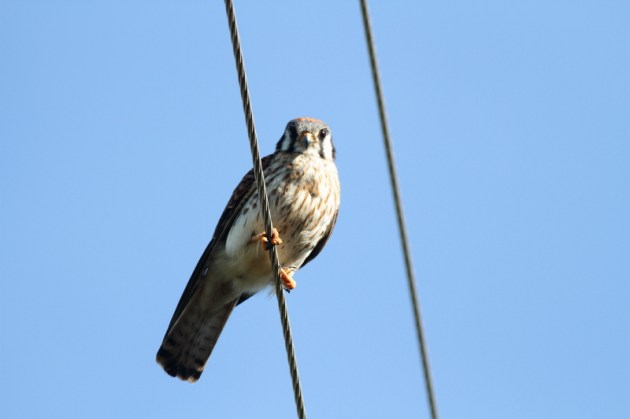 South Eastern American Kestrel - female: note larger more substantial body than male