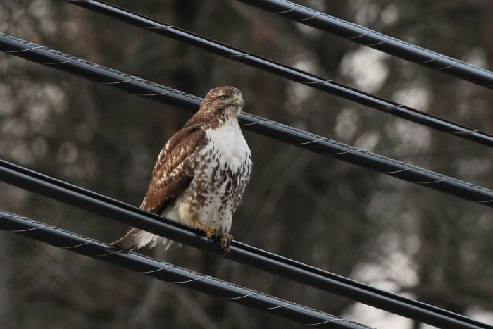 Red-tailed Hawk - An immature in PA. (Photo by Alex Lamoreaux)