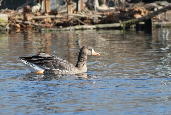 The cooperative and beautiful adult Greater White-fronted Goose at Dorney Pond. (Photo by Alex Lamoreaux)