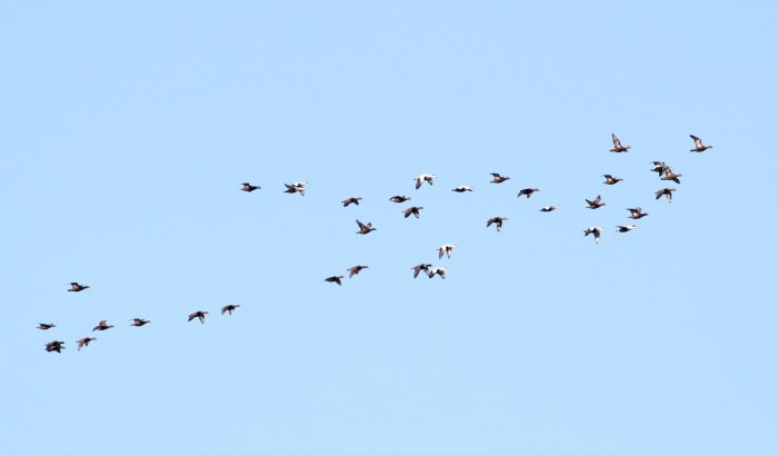 A flock of Common Eiders passing over Fort Hill. (Photo by Alex Lamoreaux)