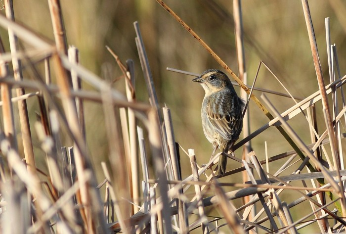 Nelson's Sparrow (Atlantic Coast subspecies) at Fort Hill. (Photo by Alex Lamoreaux)
