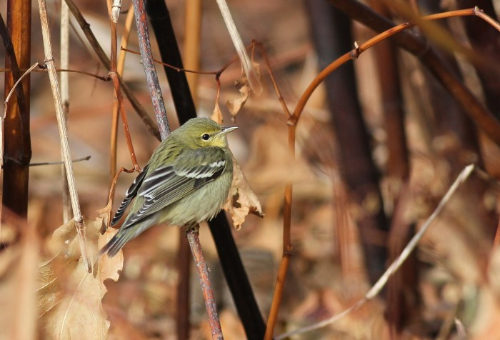 Blackpoll Warbler at East Shore Park, CT. (Photo by Alex Lamoreaux)