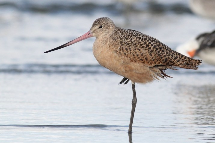 Marbled Godwit - October in New Jersey (Photo by Alex Lamoreaux)