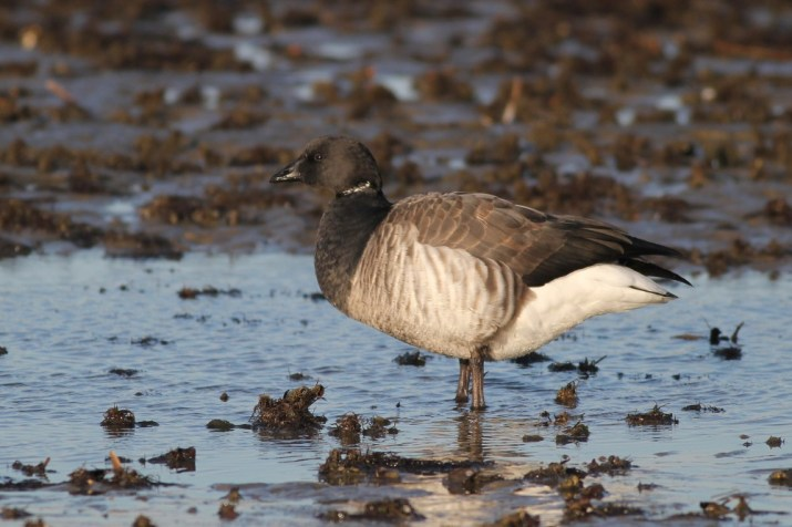Brant foraging in a puddle in Cape May Harbor. (Photo by Alex Lamoreaux)