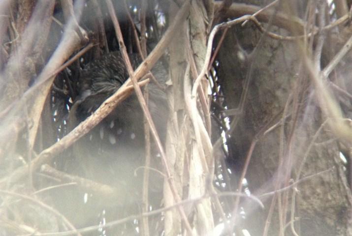 A sleepy Northern Saw-whet Owl at John Heinz NWR. (Photo by Alex Lamoreaux)