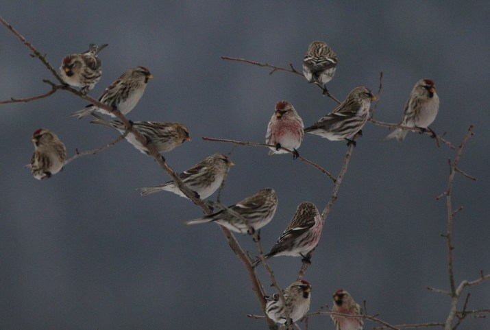 13 of the 90+ Common Redpolls that I saw at Bald Eagle SP today. (Photo by Alex Lamoreaux)