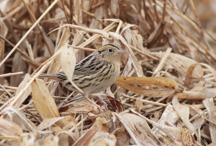 The continuing Le Conte's Sparrow at Waterloo Mills Preserve. (Photo by Alex Lamoreaux)