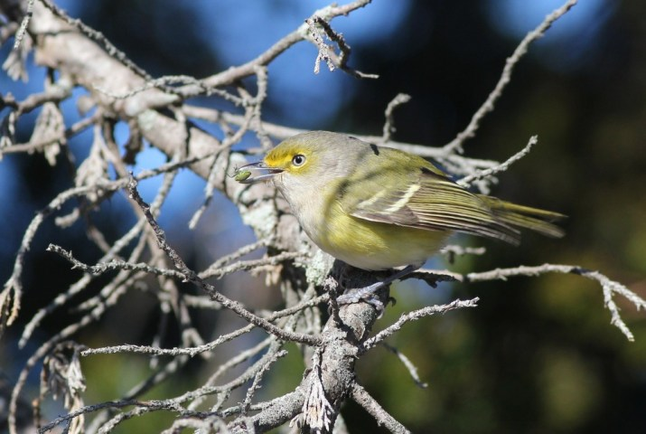 The continuing White-eyed Vireo was very cooperative for photos, showing off to us by plucking green stinkbugs and hopping around in the sunlight. (Photo by Alex Lamoreaux)
