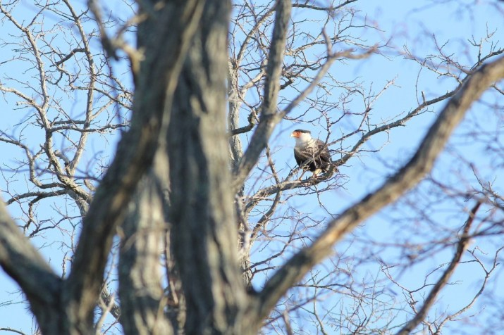 Our first view of the Crested Caracara - distant and mostly obscured by branches. (Photo by Alex Lamoreaux)