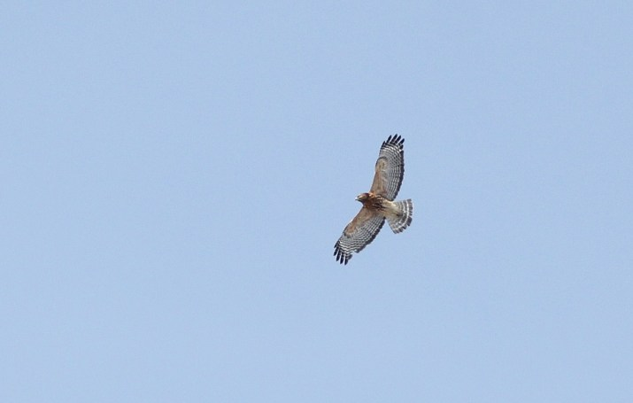 Red-shouldered Hawk (adult) - One of the most common raptors on the stripmines during winter. (Photo by Alex Lamoreaux)