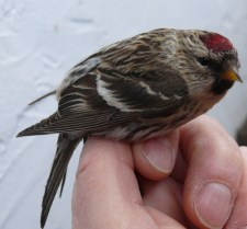 Nick Kerlin captured and banded this Common Redpoll in his yard on January 6th! (Photo by Nick Kerlin)