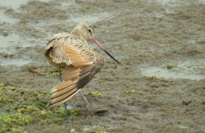 Marbled Godwit stretching - July in California (Photo by Alex Lamoreaux)