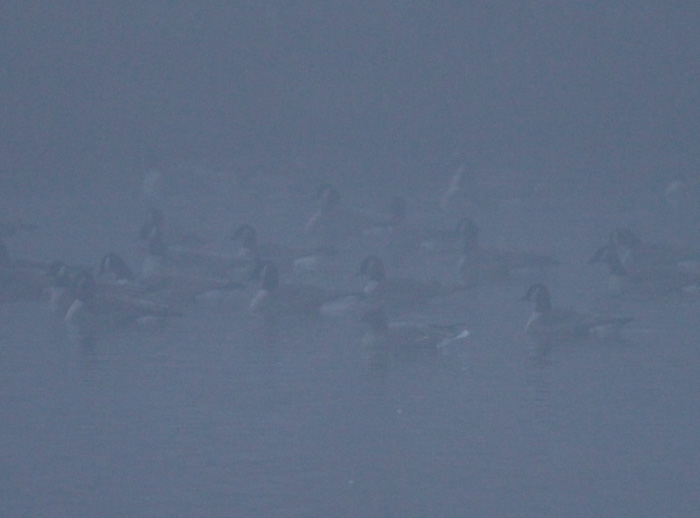 Pink-footed Goose in fog