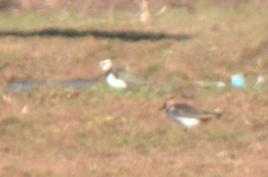 iPhone-scoped photo of two of the three Northern Lapwings. (Photo by Alex Lamoreaux)
