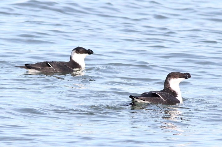 Two of 3 Razorbills we saw at Barnegat Inlet, NJ (Photo by Alex Lamoreaux)
