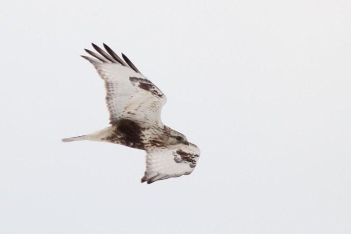 A Rough-legged Hawk that I saw during my Winter Raptor Survey (Photo by Alex Lamoreaux)