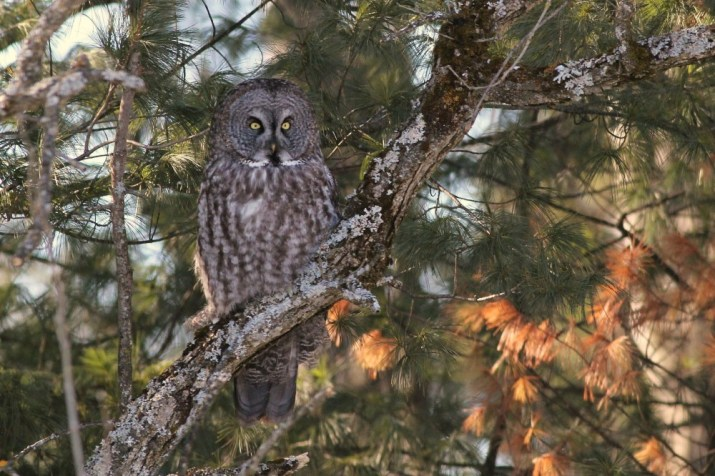 Great Gray Owl along the Rockcliffe Parkway, Ottawa. (Photo by Alex Lamoreaux)