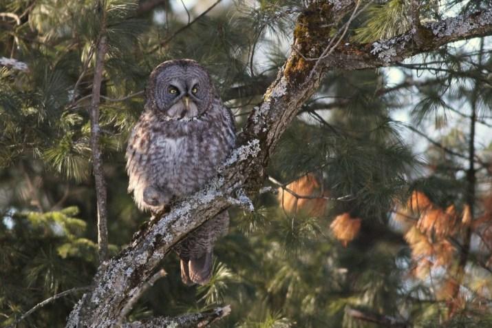 Great Gray Owl along the Rockcliffe Parkway, Ottawa. (Photo by Alex Lamoreaux)
