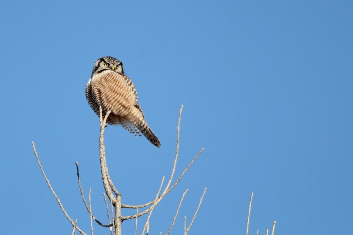 Our third northern owl of the day, an incredibly cooperative Northern Hawk Owl. (Photo by Alex Lamoreaux)