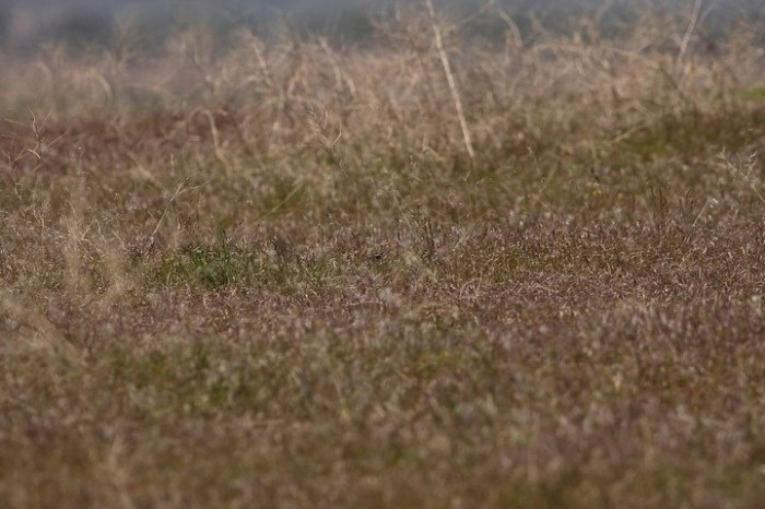 Can you see the eye of the  Long-billed Curlew? This female was barely visible on her nest.