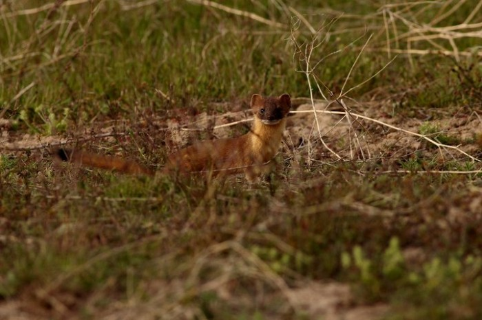 Long-tailed Weasels find it hard to resist the attention of a camera!
